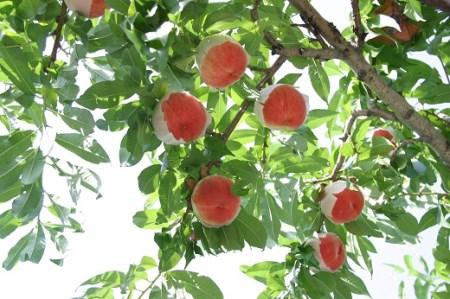 1-1-113 桃「白鳳」2kg