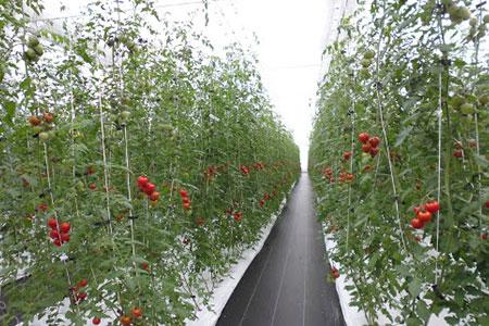 1-9-13 フルーツトマト「太陽のめぐみ」1kg