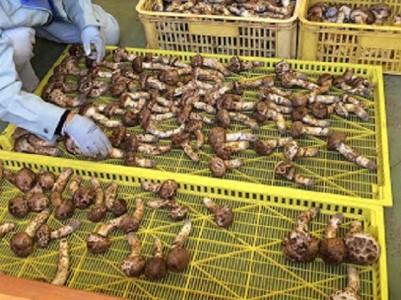 小諸市収穫 松茸 約1kg(8~15本)