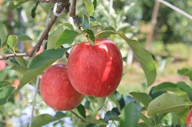 【AB-28】【数量限定!】シナノドルチェ3キロ さっぱりとした酸味が楽しめる信州のりんご(リンゴ・林檎)