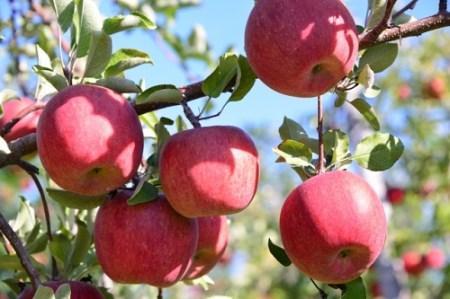 [0660]【先行予約】ヤマハチ農園のりんご サンふじ 家庭用5kg BLOF理論栽培