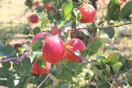 [0901]【先行予約】米澤農園のりんご 葉とらず【サンふじ】家庭用5kg