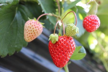 冷凍イチゴ1kg(2020年第31回静岡県いちご果実品評会入賞)