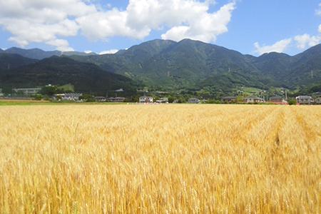 秦野産小麦「ゆめかおり」