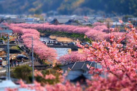 2月上旬から開花しはじめる、早咲きの河津桜