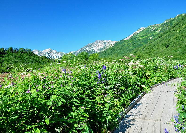 【栂池自然園】 個性豊かな高山植物の数々、四季ごとに移り変わる美しい自然の風景をお楽しみください。