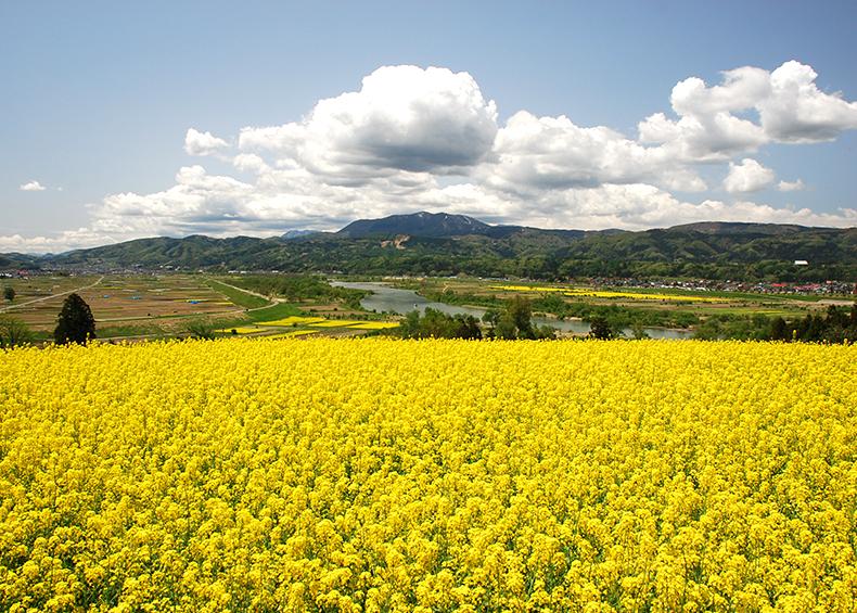 【菜の花公園】 千曲川のほとり一面に咲き誇る菜の花の丘公園